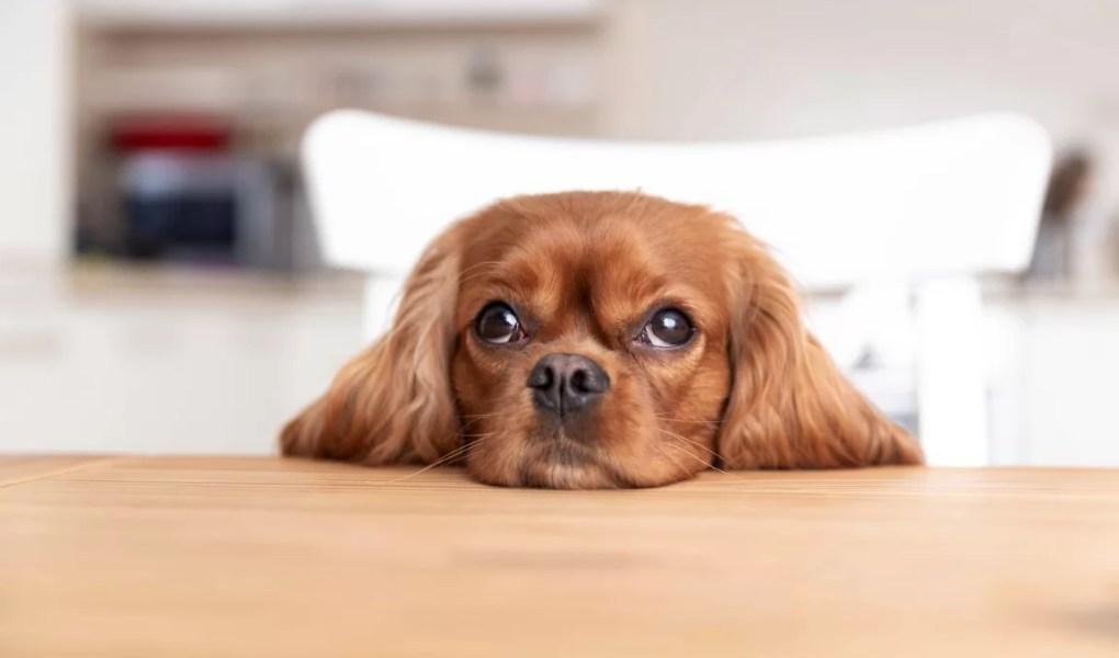 4 races de chiens faciles à vivre