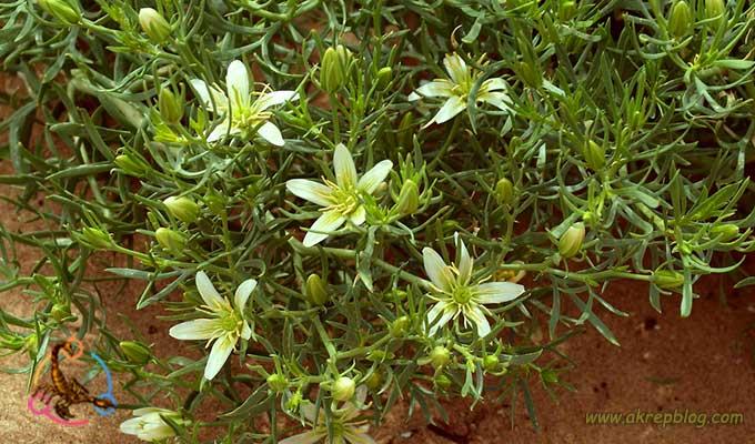 üzerlik otu çiçeği
