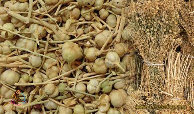 üzerlik otu hasat dönemi, üzerlik otu ne zaman hasat edilir?