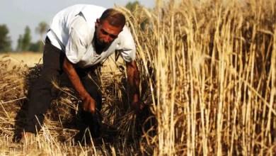 Photo of رويترز : محصول القمح في سوريا أقل بكثير من التوقعات .. و أزمة الغذاء ستستمر لسنوات