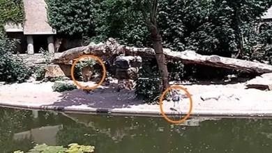 صورة لحظة انقضاض أسد على طائر و افتراسه ( فيديو )
