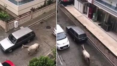 Photo of مقطع مصور يظهر ربط حصان من عنقه بسيارة يثير ضجة و غضباً في تركيا ( فيديو )