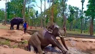 Photo of في الهند .. نفوق فيل بعد وقوعه في الأسر ! ( فيديو )