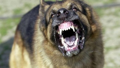"""Photo of """" الكلاب الشياطين """" تأكل رجلاً حياً في إسبانيا"""