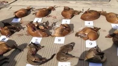 """Photo of رغم الحظر و التجريم .. تهريب """" حيوانات كورونا """" مستمر في الصين"""