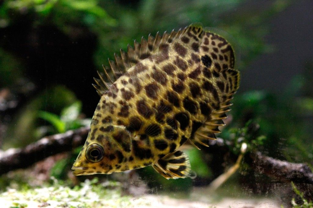 An African bushfish against a woody and leafy background with fins raised.