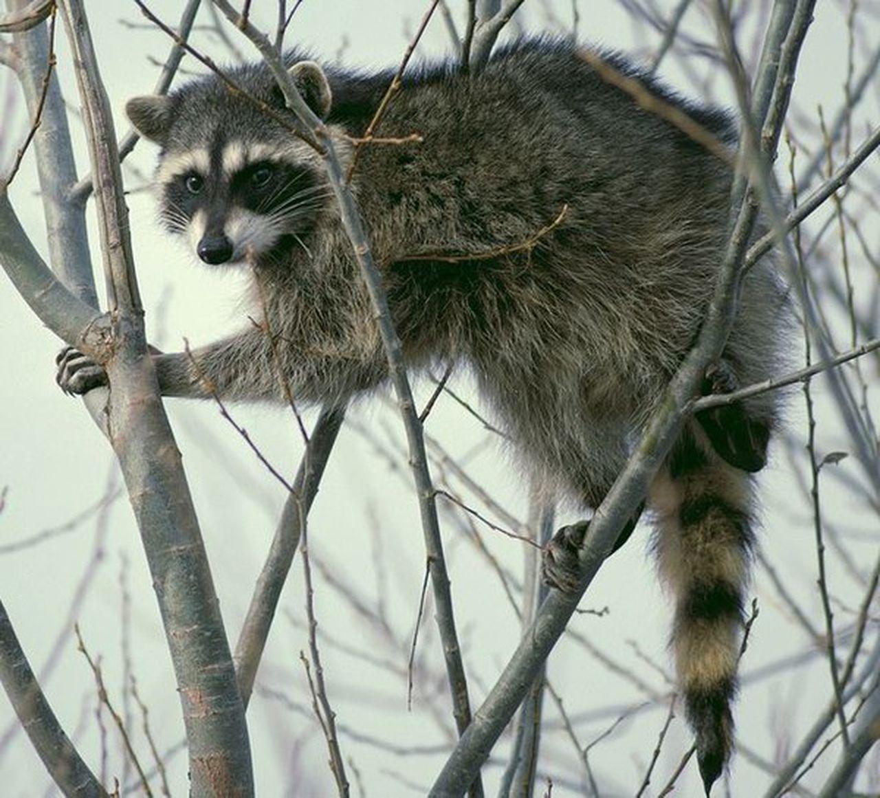 What Is A Trash Panda Slang Word For Raccoon Gives Alabama