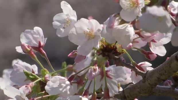 قال عالم إن أولى أزهار الكرز في كيوتو منذ 1200 عام تشير إلى تغير المناخ