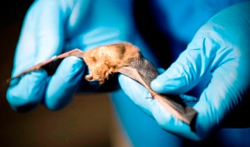 Researchers get valuable information by studying the bats trapped temporarily during a bat blitz in the Talladega National Forest. (Chris Jones/Alabama NewsCenter)