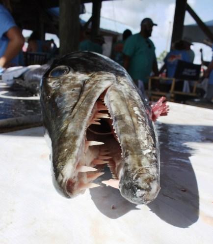 The sharp teeth of a 38.9-pound barracuda caught by Mike Hartman of Irvington. (Robert DeWitt/Alabama NewsCenter)