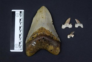 Several Bryant Shark teeth (right) compared to Megaldon Tooth (left). (McWane Science Center)