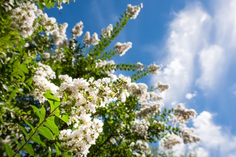 Crape myrtle. (Getty Images)