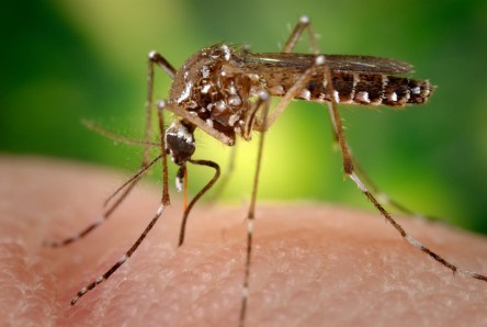 An Auburn University School of Forestry and Wildlife Sciences research team has documented the existence of the Aedes aegypti mosquito, a known transmitter of the Zika virus, in Mobile County for the first time in 26 years. (CDC)