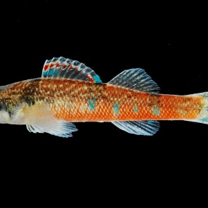 A male trispot darter is featured here. New funding will allow study of genetic markers for the species. (Geological Survey of Alabama)