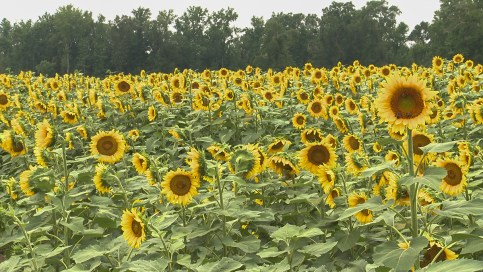 The Sunflower Field in Autaugaville (Dennis Washington / Alabama NewsCenter)