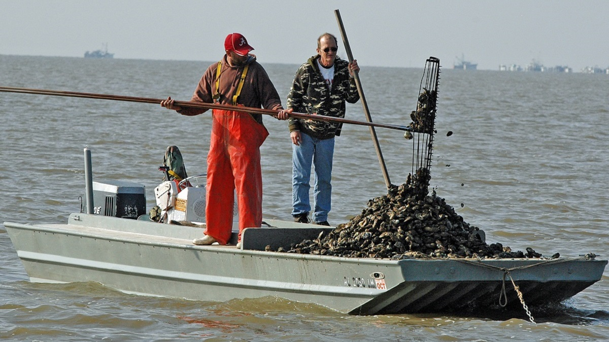 Alabama's oyster production makes a comeback - Alabama NewsCenter