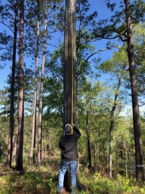 Alabama Power biologist Chad Fitch examines a red-cockaded woodpecker habitat at Lake Mitchell. (contributed)