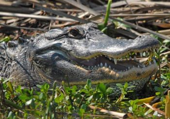 Gator on the WildNative Delta Safaris tour.