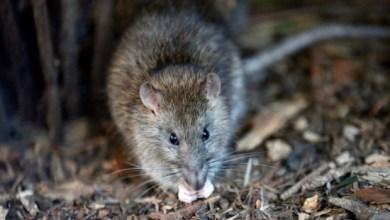 Photo of كارثة بيئية.. الفئران تأكل بعضها البعض في أمريكا والسبب كورونا