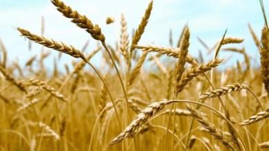Photo of الحكومة: لا صحة لتراجع المساحة المزروعة من القمح