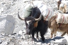 Yaks to Everest Base Camp