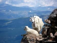 Quandary Goats