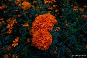 Flor de cempasúchil, con motivo del día de muertos en México.