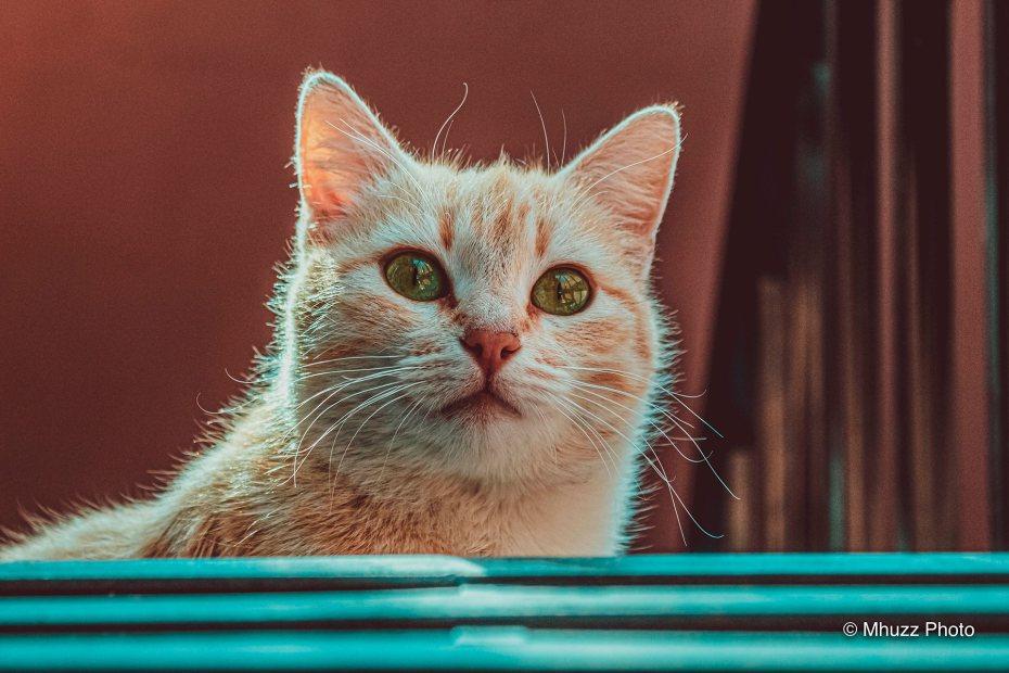 Medium close up de un gato de pelaje anaranjado.