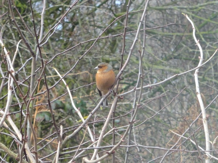 Chaffinch in the hedgerow