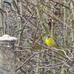 Siskin sighting bird highlight of the week