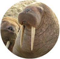 Walrus Viewing