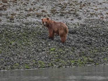 Brown Bear on the Beach