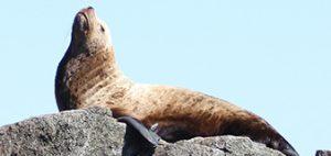 Alaska sea lion