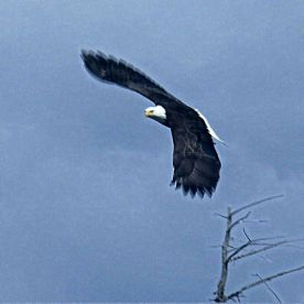 Eagle soaring against sky