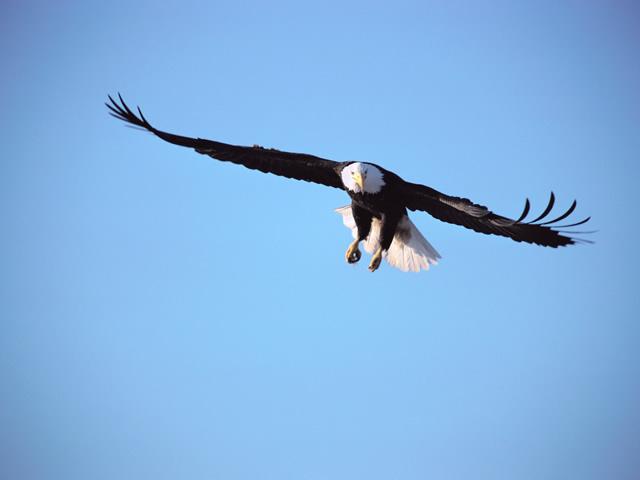 https://i2.wp.com/www.alaskawildernessvoyages.com/images/_wild_eagle1a.jpg