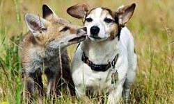 Tilki ve köpeğin şaşırtan dostluğu