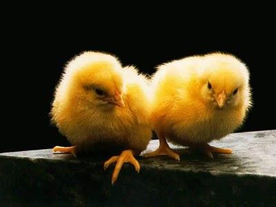 Kanada'da bir tavuk çiftliğinde çıkan yangında 20 bin civciv telef oldu