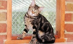 Evinden çok uzak yalnız Türk kedisi
