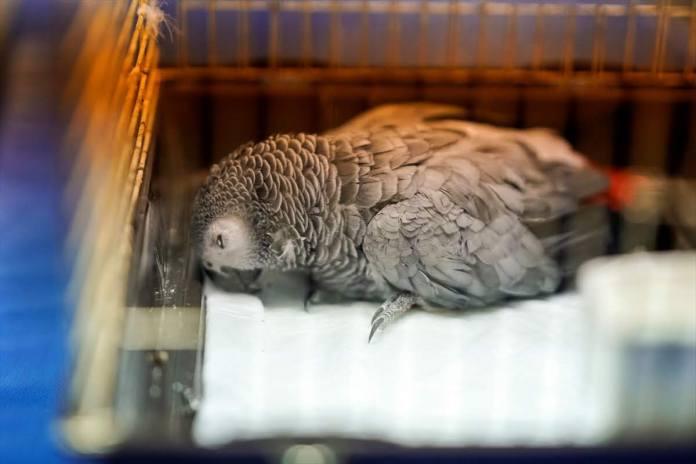 siddete ugrayan papagan oldu