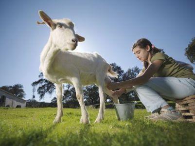 فوائد حليب الماعز مقارنة بـ حليب الابقار والحليب النباتي