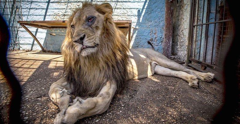 Un leone al Safari Park Zoo di Fier, Albania