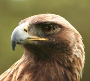 Adler – Bild: Wikimedia Commons, Autor aqui09 und Bff – CreativeCommons 2.0