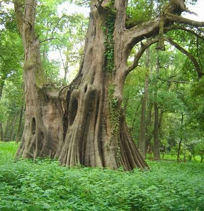 Ancient Bald Cypress