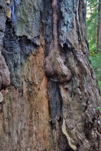 redwood tree bark
