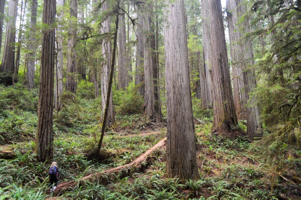 A Visit to the Redwood Forest of Northern California