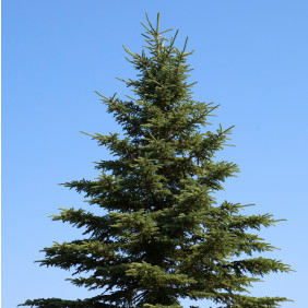 Northern Spruce Xmas Tree Christmas Tree Picea Abies