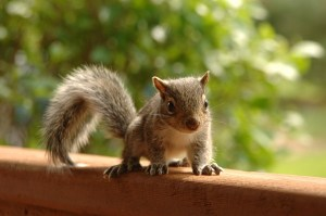 Making Sure Squirrels Don't Chew On Your Wooden Deck