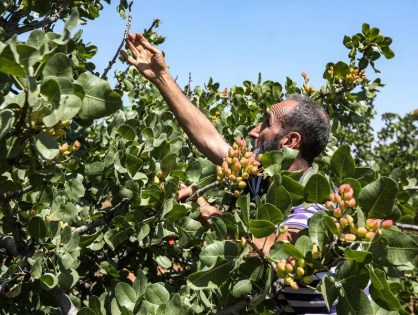 A pistachio farmer tends to a tree at a pistachio orchard in the village of Maan, north of Hama in west-central Syria on June 24, 2020. Pistachio farmers in central Syria are hoping that reduced violence will help revive cultivation of what was once one of the country's top exports. LOUAI BESHARA / AFP