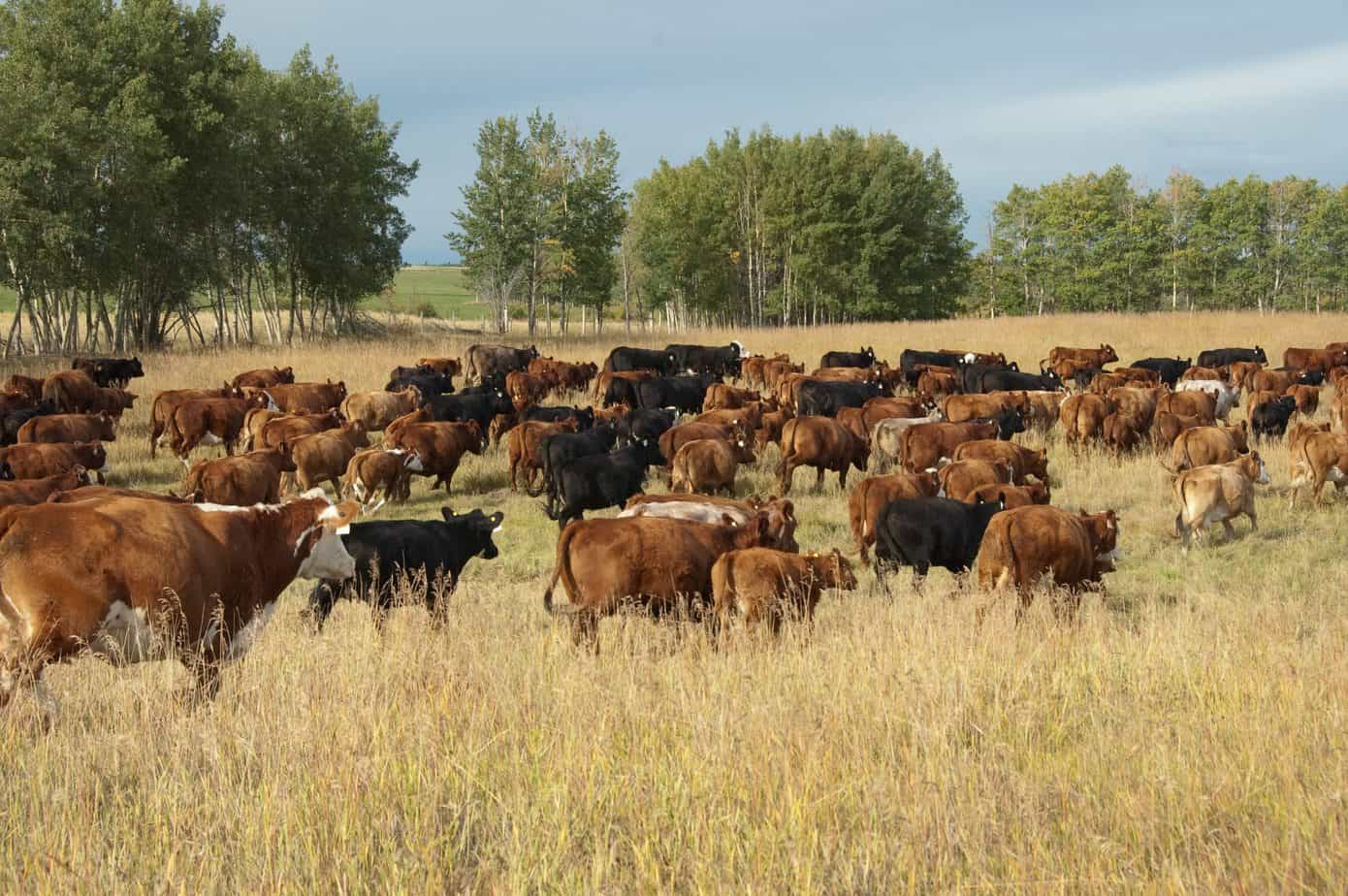 Greenhouse Gas Emissions + Beef Production