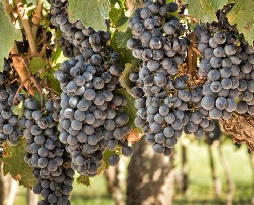 Resultado de imagen para california vineyard